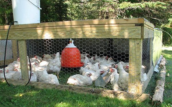 О тривитамине п для цыплят, кур, бройлеров: инструкция по применению (дозировка)