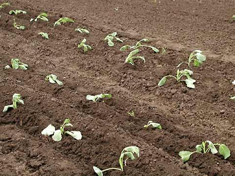 Цветная капуста: как вырастить рассаду