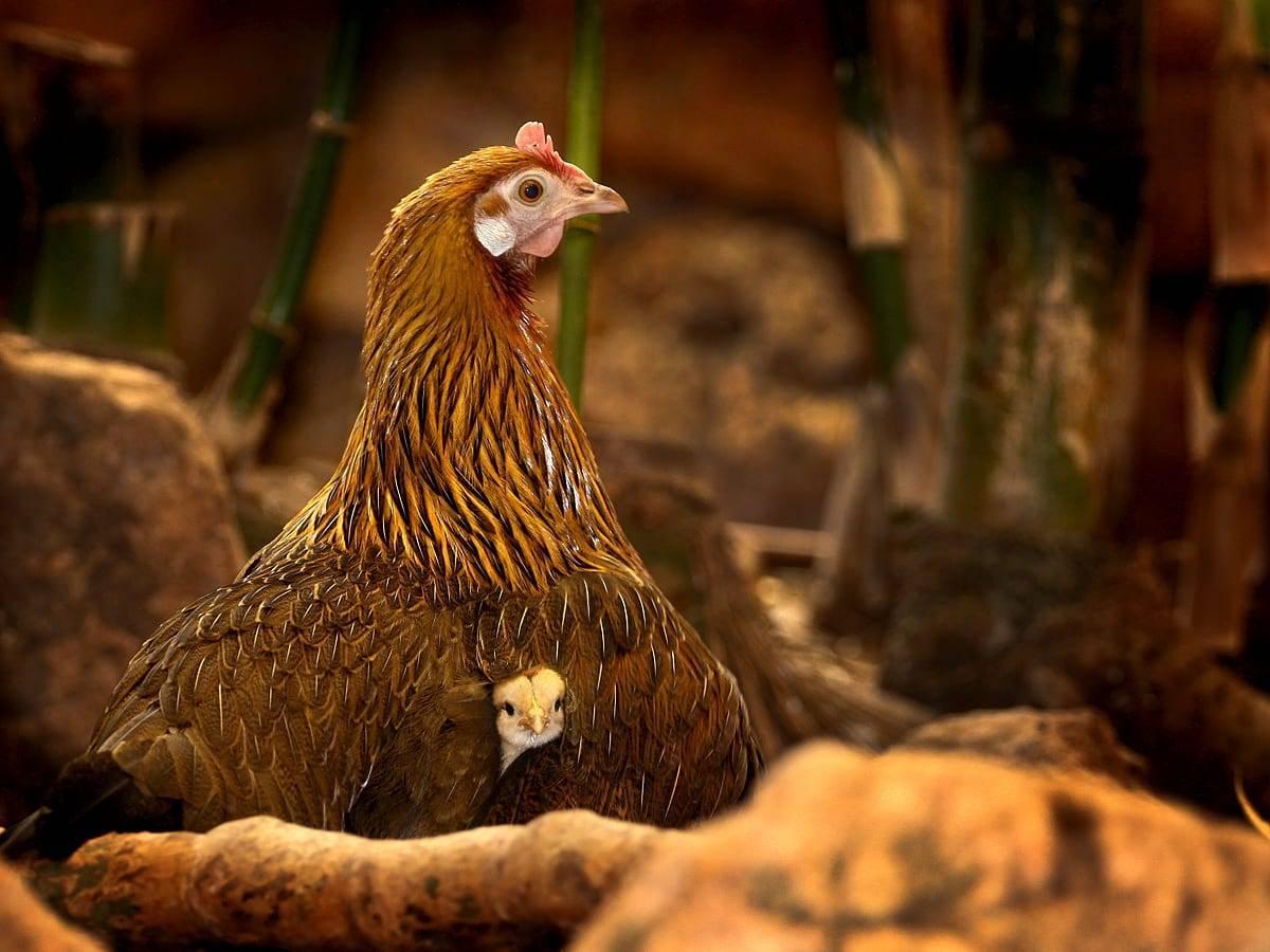 Как произвести вывод цыплят под наседкой правильно?