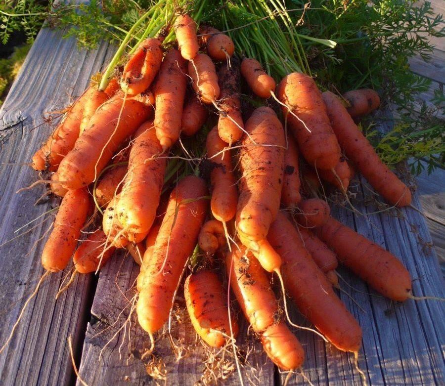 Как вырастить морковь в открытом грунте - подробная инструкция!