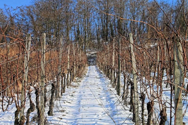 Правила укрытия винограда на зиму в средней полосе россии