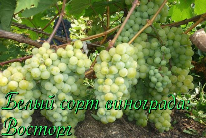 Виноград розовый ранний и другие виды: описание сорта, его характеристики и фото