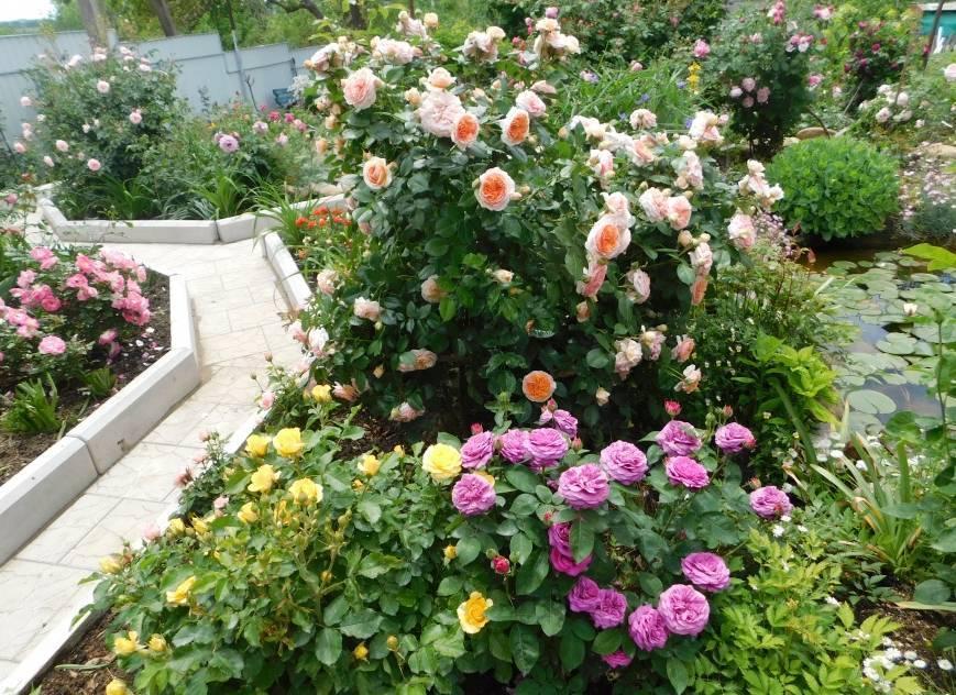 Роза английская саммер сонг: описание сорта, фото, видео | о розе