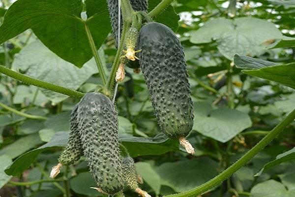 Гибрид огурца «лютояр f1»: правила посадки, выращивания и ухода