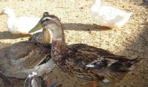 Башкирские утки: описание породы, особенности выращивания, фото