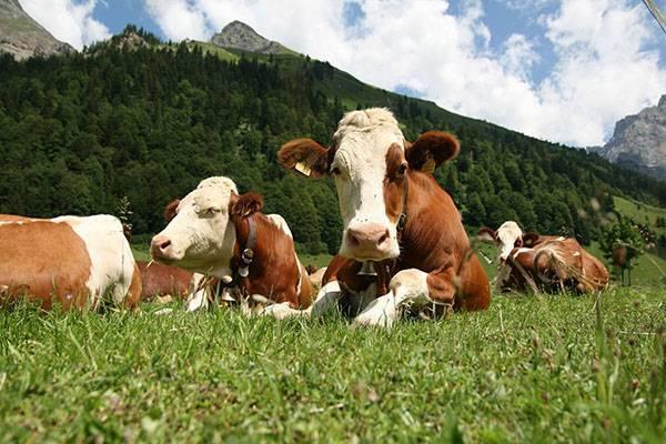 Холмогорское качество: порода выгодных коров