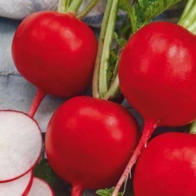 Редис селеста f1 – лучший из сортов для выращивания приусадебных участках и в теплицах