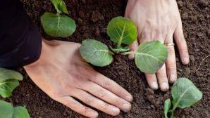 Почему вянет рассада капусты