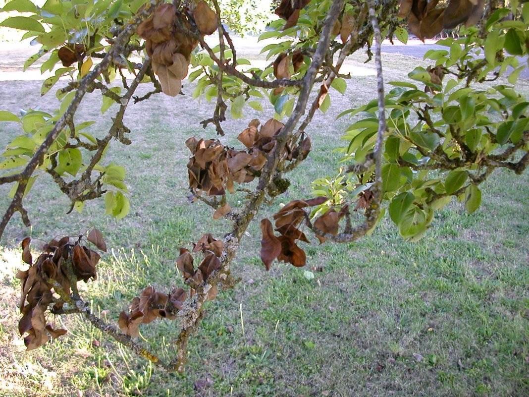 Дерево айва: выращивание и уход