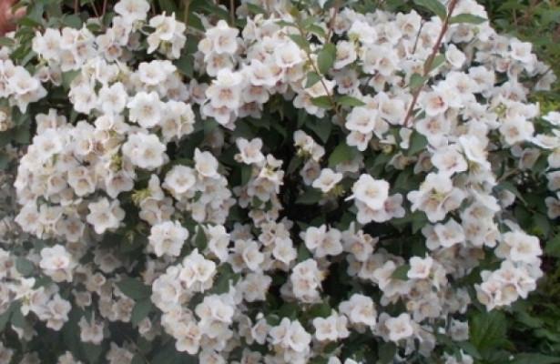 Цветок жасмин, жасминовый чай: польза и вред для здоровья