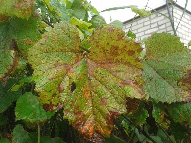 Яды для борьбы с вредителями виноградника -  правильно посадить виноград