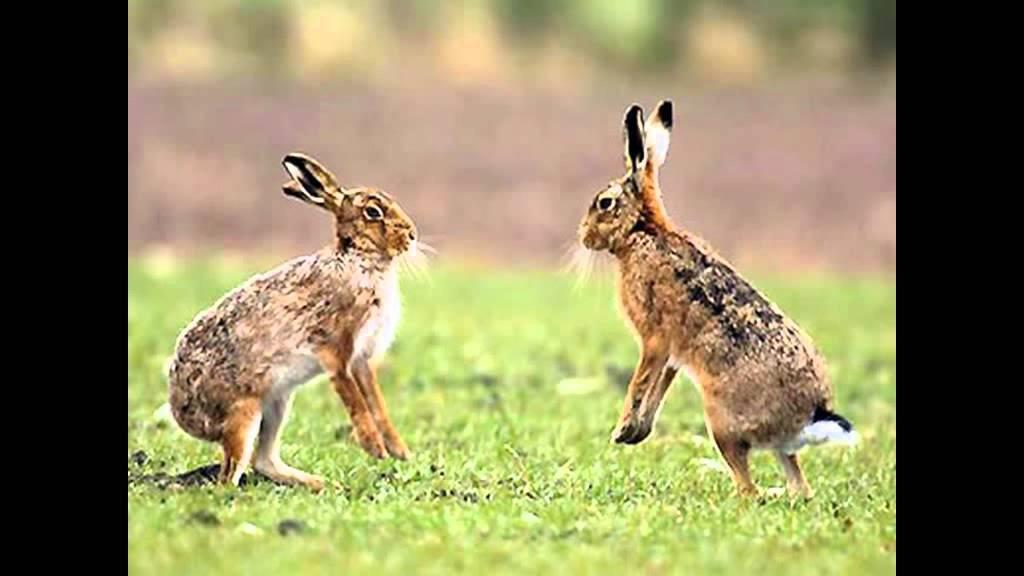 Основные отличия зайца от кролика