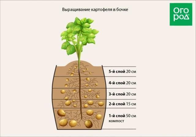 Картофель в бочке, опыт выращивания