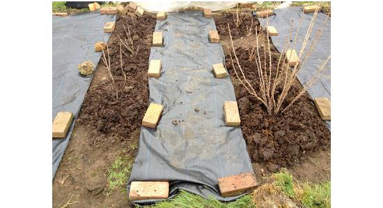 Все о посадке смородины осенью и весной. когда лучше высаживать?