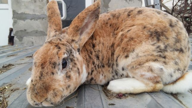 Рекс (порода кроликов)