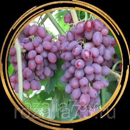 Фенология винограда и даты перехода температур в условиях ростовской области