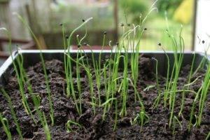 Главные правила выращивания лука чернушки: сорта, посадка и уход
