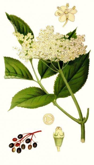 Лекарственное растение бузина: фото, описание, полезные свойства, противопоказания, лечебные рецепты народной медицины, применение в косметологии