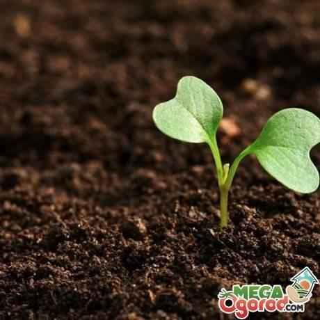 Что делать если вытянулась рассада капусты – 6 основных причин и способы их решения