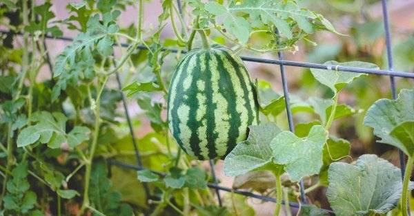 Как выращивать арбузы в теплице из поликарбоната