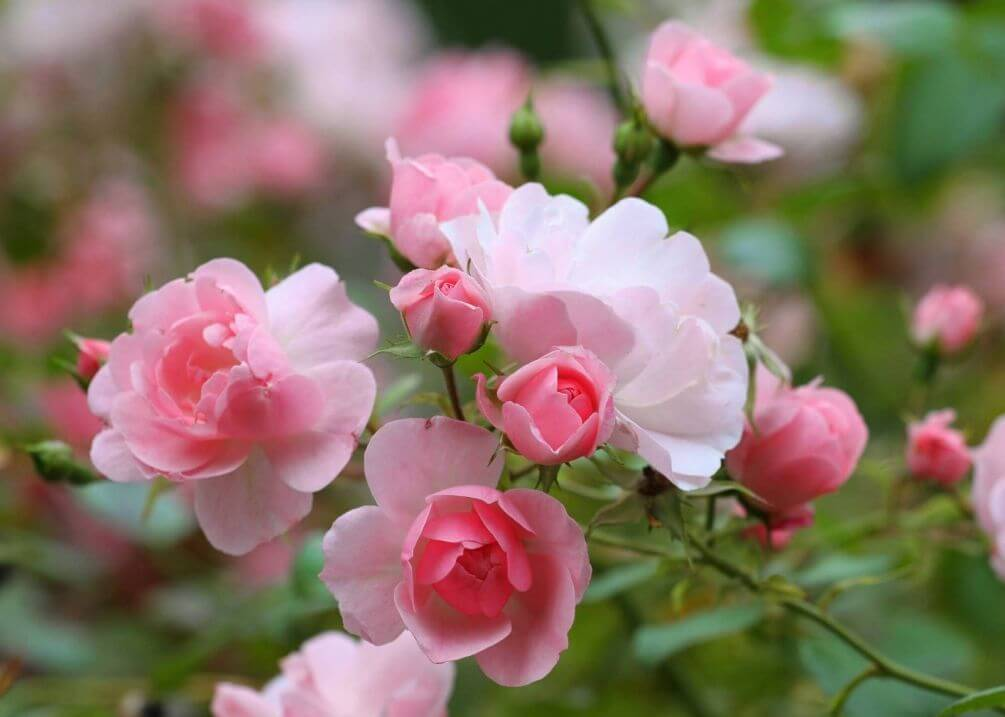 Роза: описание, сорта, польза, рецепты | food and health