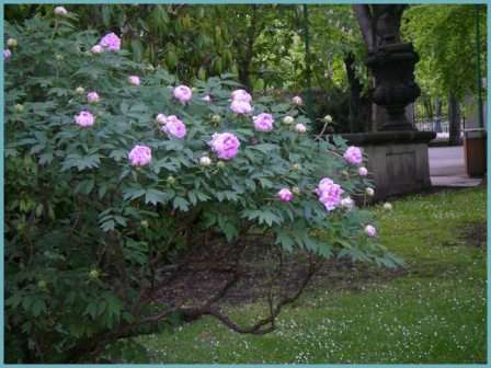 Древовидные пионы – посадка и уход