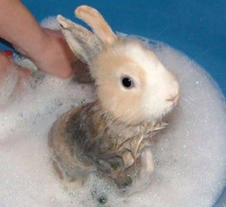 Можно ли купать декоративного кролика, как часто можно мыть и как сушить