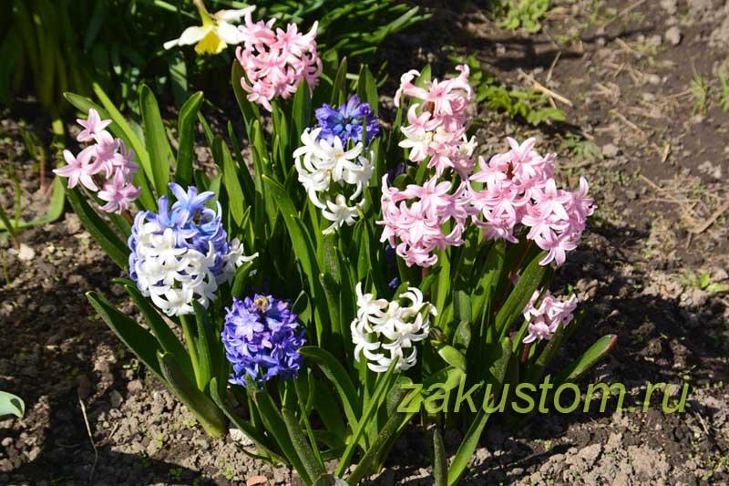 Гиацинты в саду, выращивание
