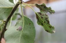 Болезни груши и борьба с ними