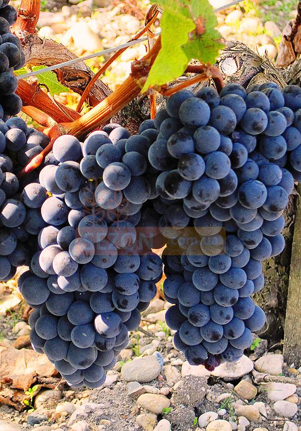 Виноград мерло: характеристики и 6 процедур по уходу для супер урожая