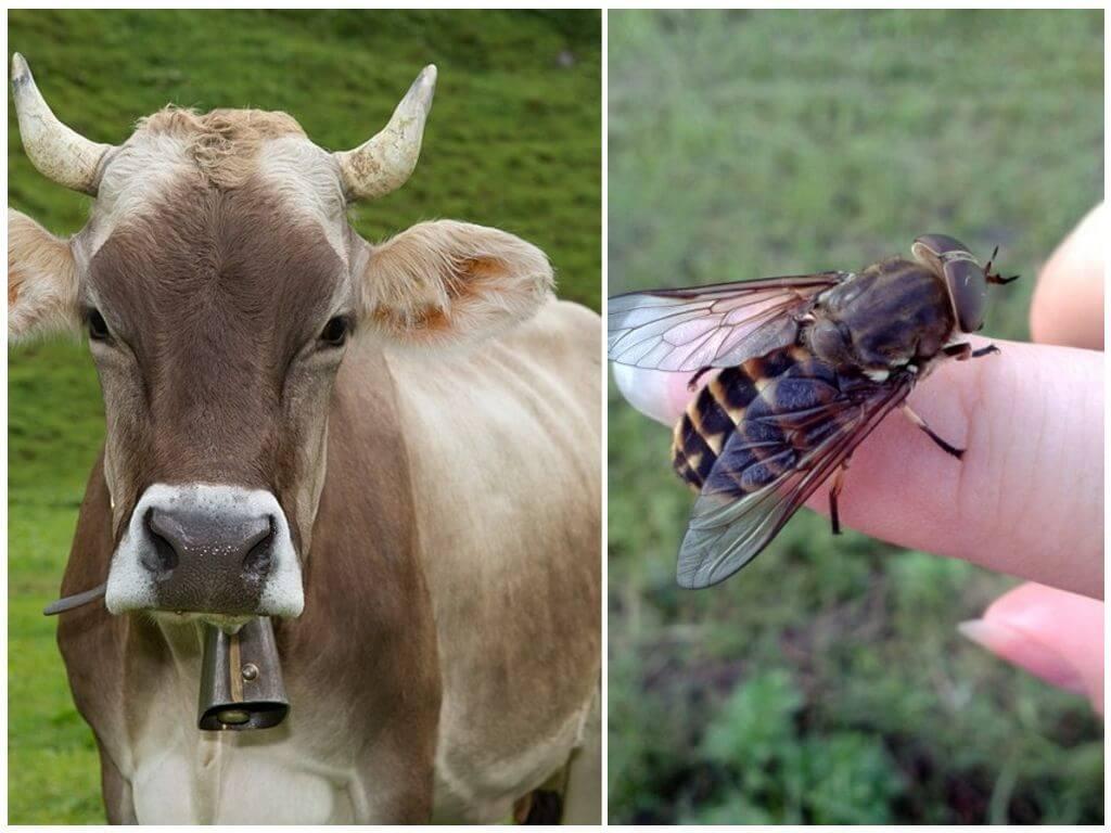 Средства защиты коров от оводов и слепней в домашних условиях (чем обработать)