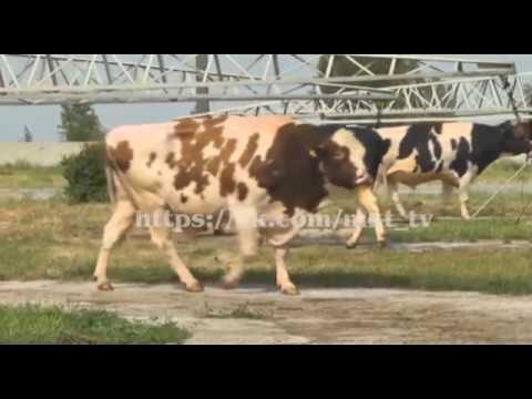 Лейкоз у крс (крупнорогатого скота)