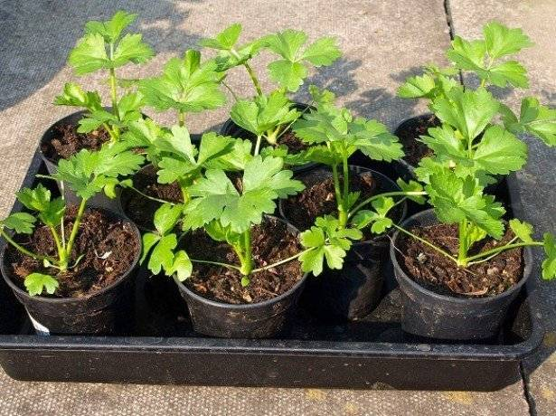 Выращивание черешкового сельдерея в открытом грунте: способы и рекомендации по уходу