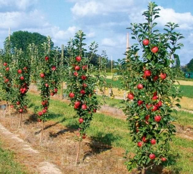 Осенняя яблоня янтарь