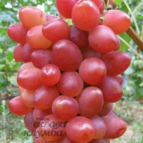 Описание сорта винограда софия: фото и отзывы   vinograd-loza