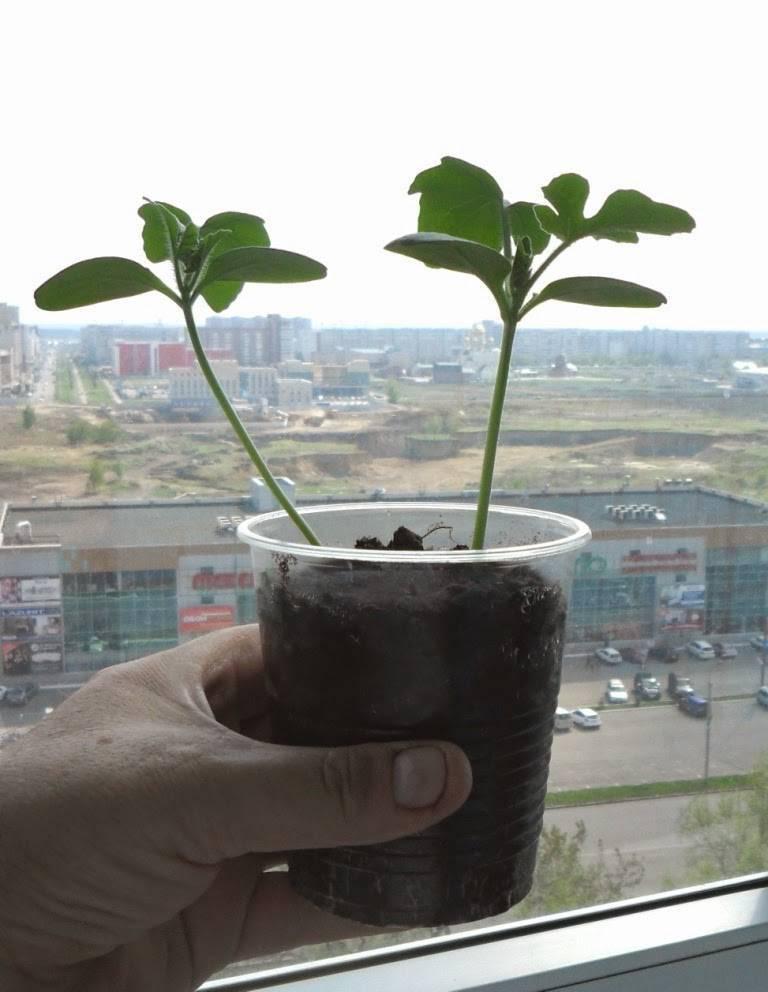 Посев семян арбуза и дыни на рассаду