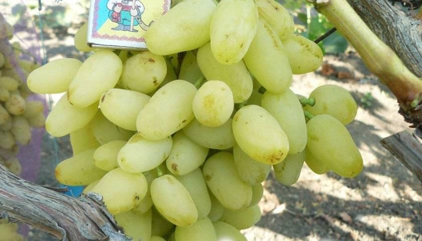 Описание винограда сорта долгожданный: характеристики, фото, отзывы садоводов