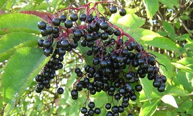 Бузина (71 фото): что это такое и как выглядит растение? описание дерева с цветками и ягодами, бузина сибирская, канадская и другие виды
