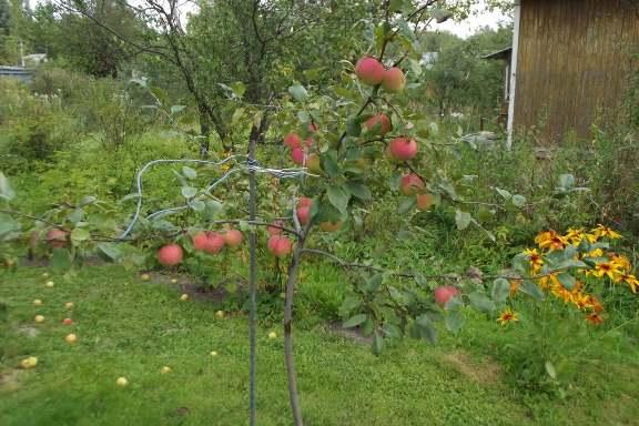 Почему не растет яблоня (что делать)