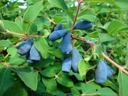 Жимолость голубая – описание, сорта, выращивание и уход — дом сад огород