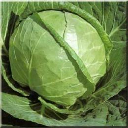 Капуста каменная голова: описание и характеристика белокочанного сорта, фото семян аэлита, отзывы тех кто сажал
