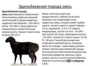 Характеристика овец эдильбаевской породы