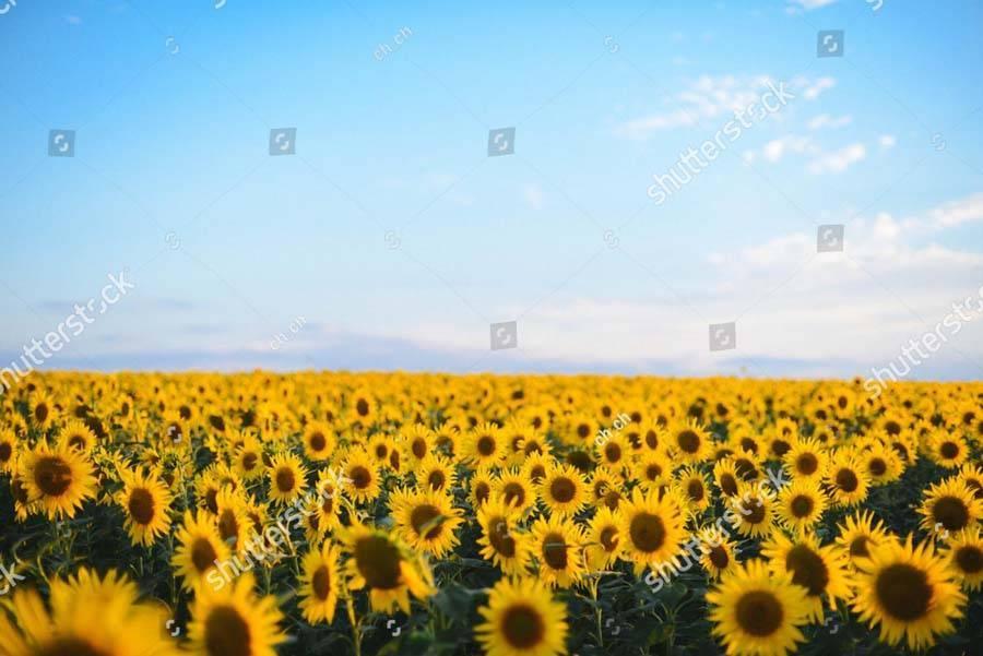 Подсолнечник: выращивание из семян, фото, посадка и уход в открытом грунте, виды и сорта
