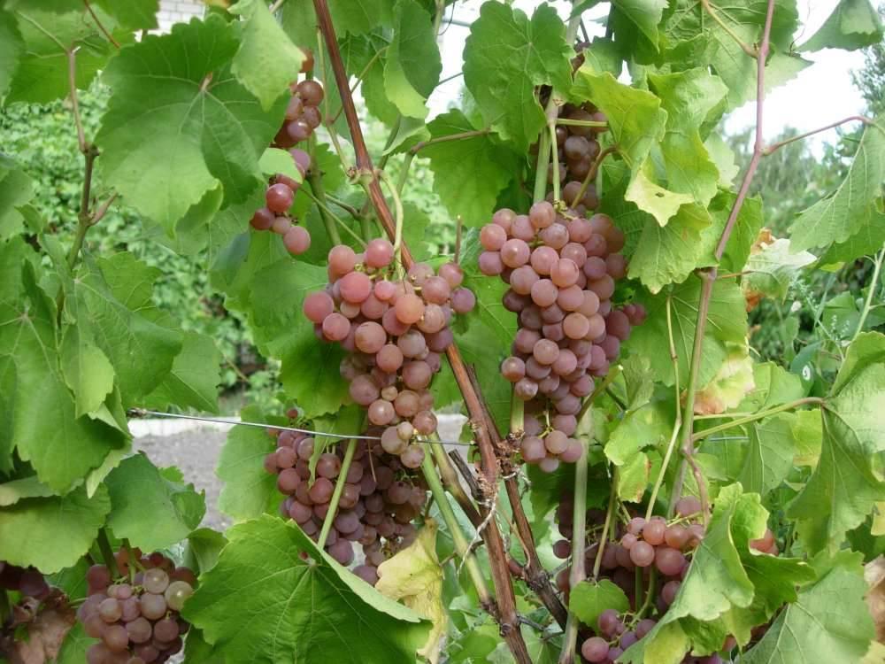 Выносливый виноград с гармоничным вкусом — сорт «платовский»