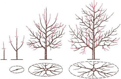 Обрезка сливы весной и осенью для начинающих   как обрезать сливу - схемы, видео