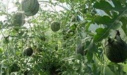 Выращивание арбузов в подмосковье: посев и правильный уход