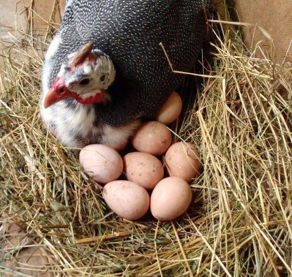 Режим инкубации яиц цесарок: таблица температуры и сроков, а также пошаговая инструкция для домашних условий по времени закладки и периодам проверки