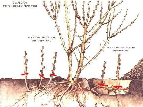 Особенности посадки, выращивания и ухода за облепихой
