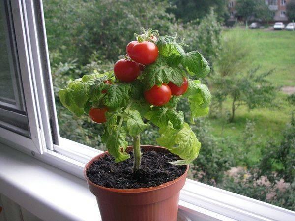 Как развести борную кислоту для опрыскивания томатов - правила использования