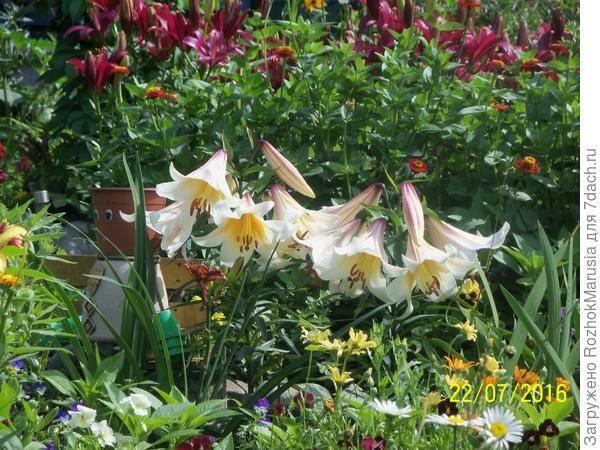 Луковицы лилий: когда пересаживать? уход за лилиями после цветения. уход за лилиями после цветения